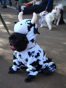 Now cow-pugs are gonna sell like hotcakes